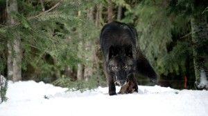 territoire des loups